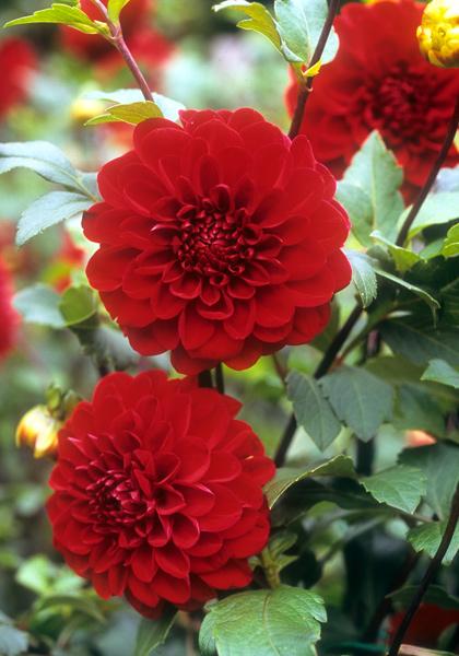 Each Little World Go Big Red Dahlia