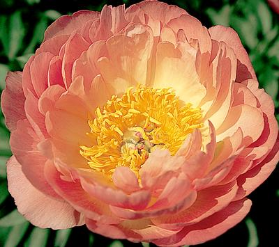 Each Little World A Pion For Peonies