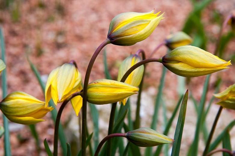 Tulip sylvestrisOptimized