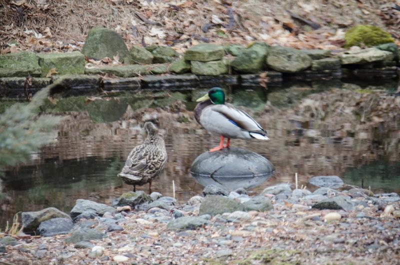 Ducks 2018-1