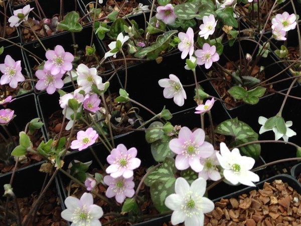 Hepatica-pyrenaica-Appleblossum-001