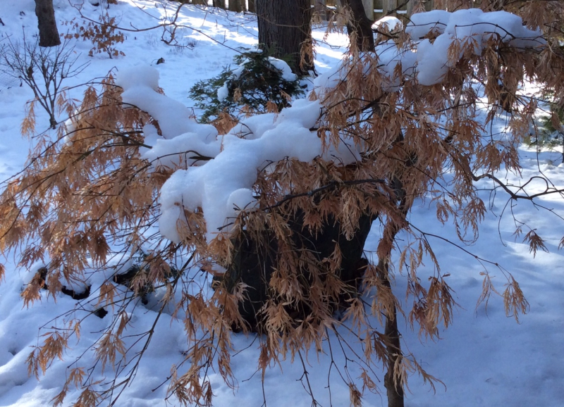 Jp. maple  snow