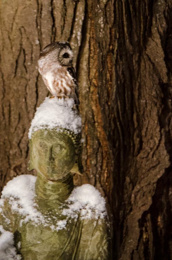 Little Owl-2