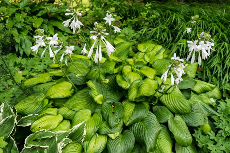 Lilies-4