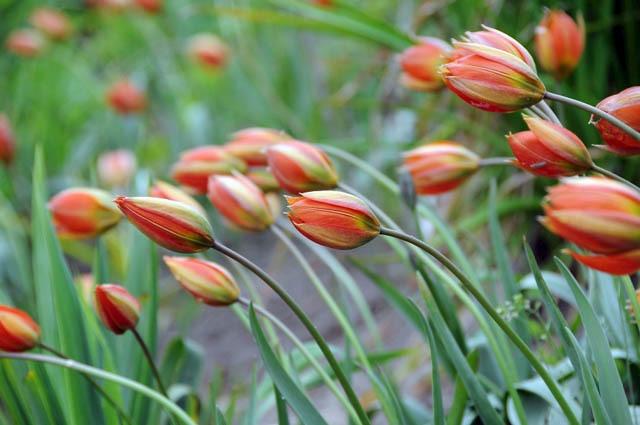 35879 Tulipa whittallii