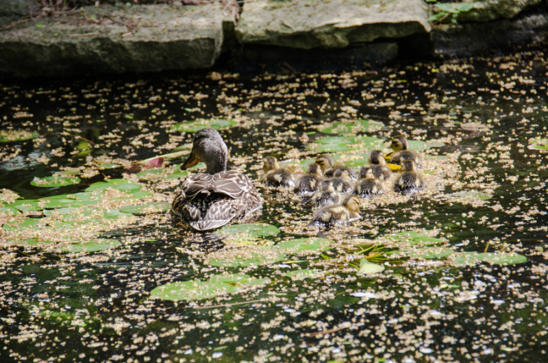 Ducklings-5