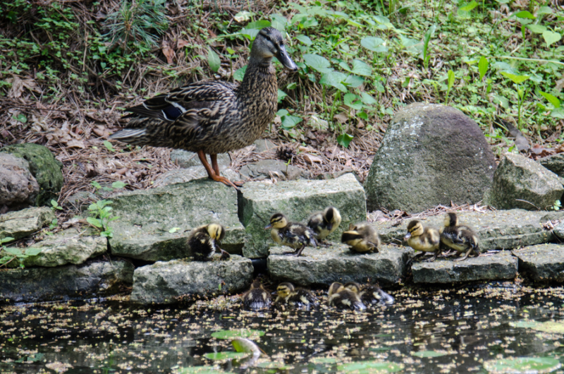 Ducklings-7