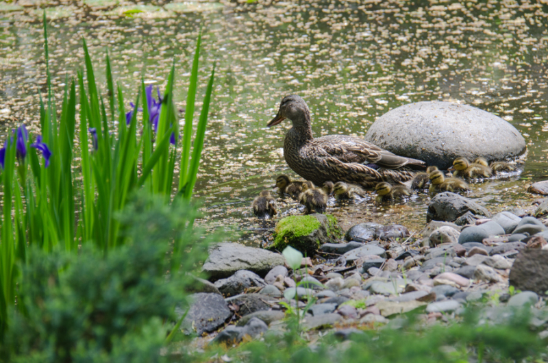 Ducklings-4