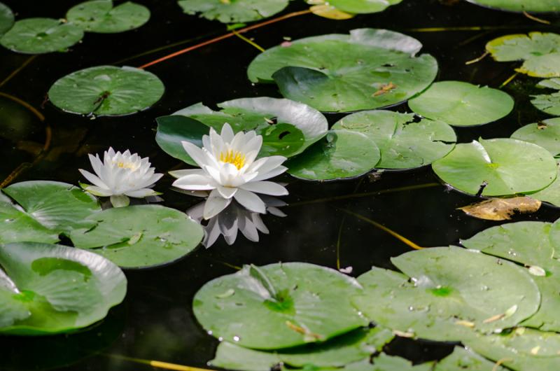 Various Lilies-2