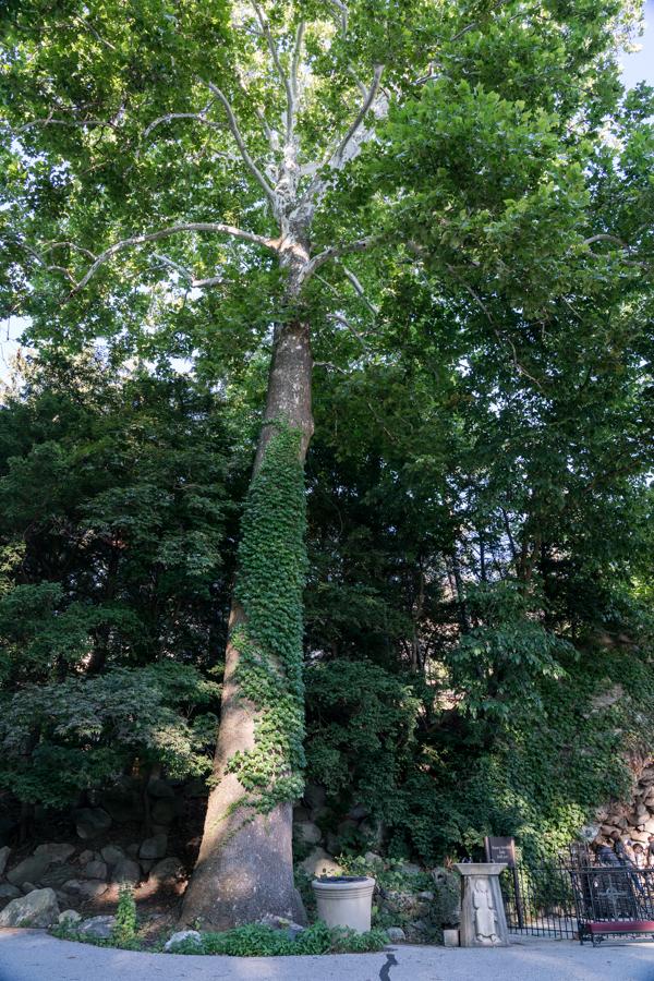 Notre Trees-1