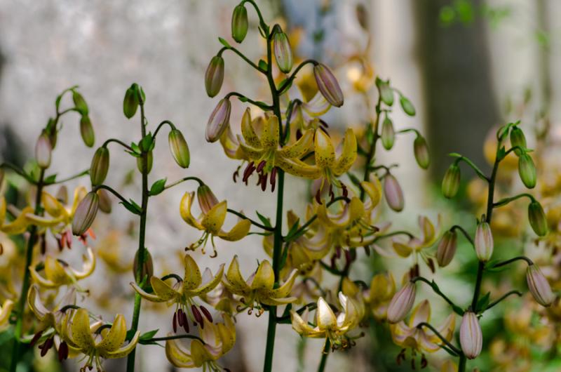 Various Lilies-9