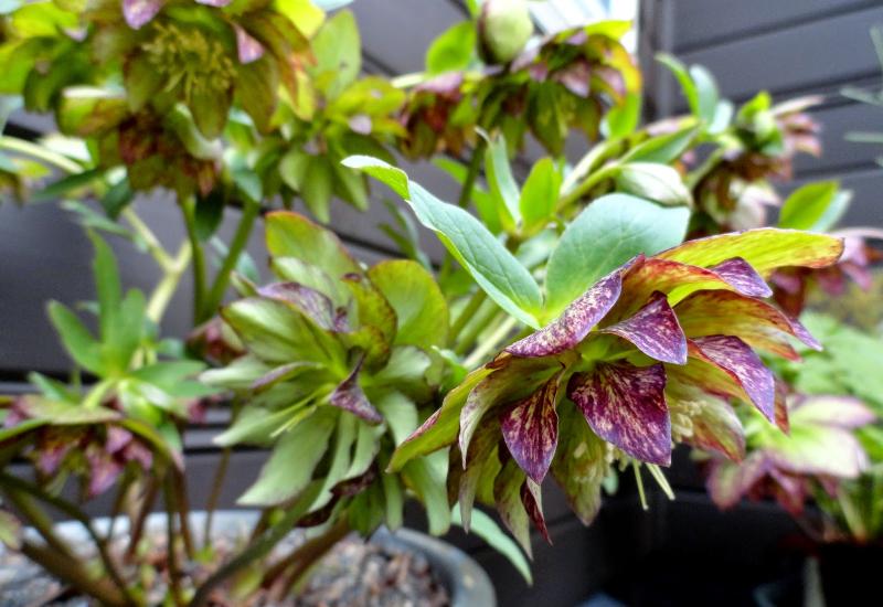 Helleborus x hybridus 'Jade Tiger' 2