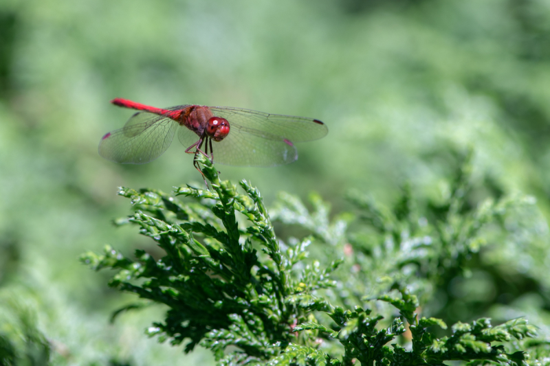 Dragon Flies-2