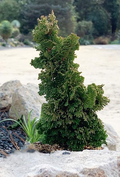 Thuja-occidentalis-Primo.i-15960.s-66087.r-1_grande