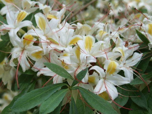 R-azalea-Deciduous-arborescens-Sweet-Azalea-CL1209_RHD0002