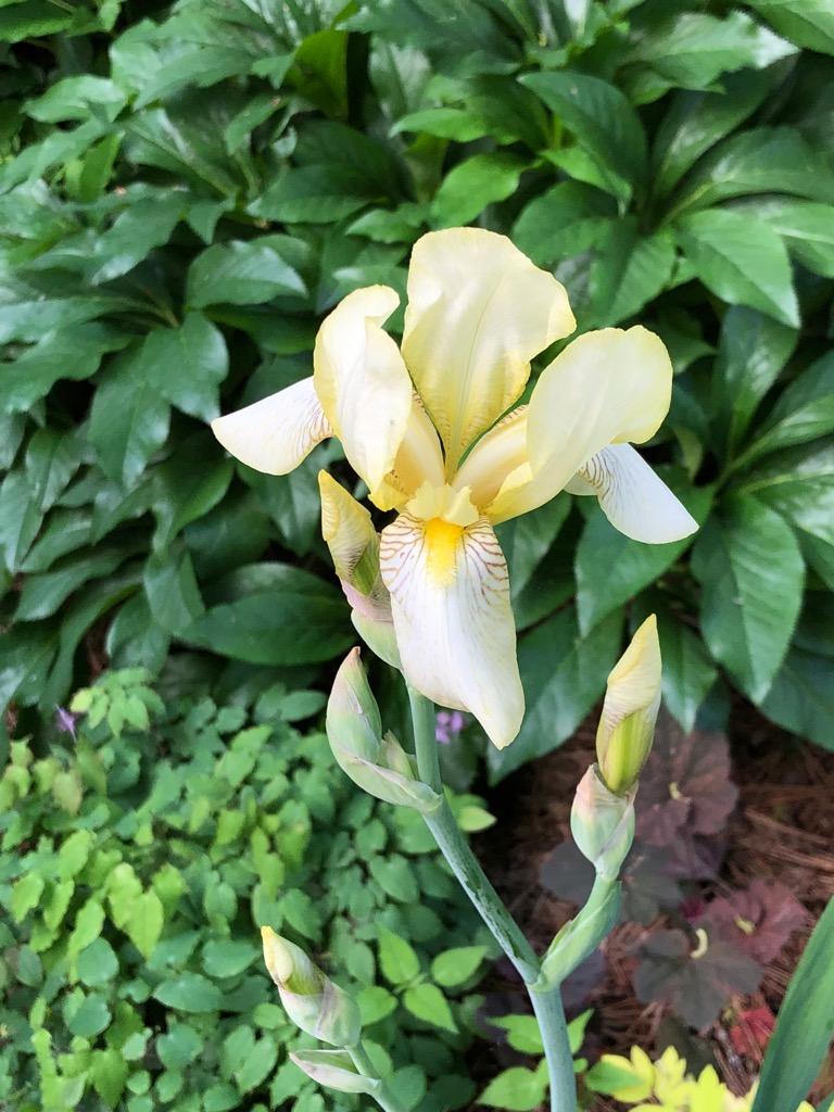 Iris yellow