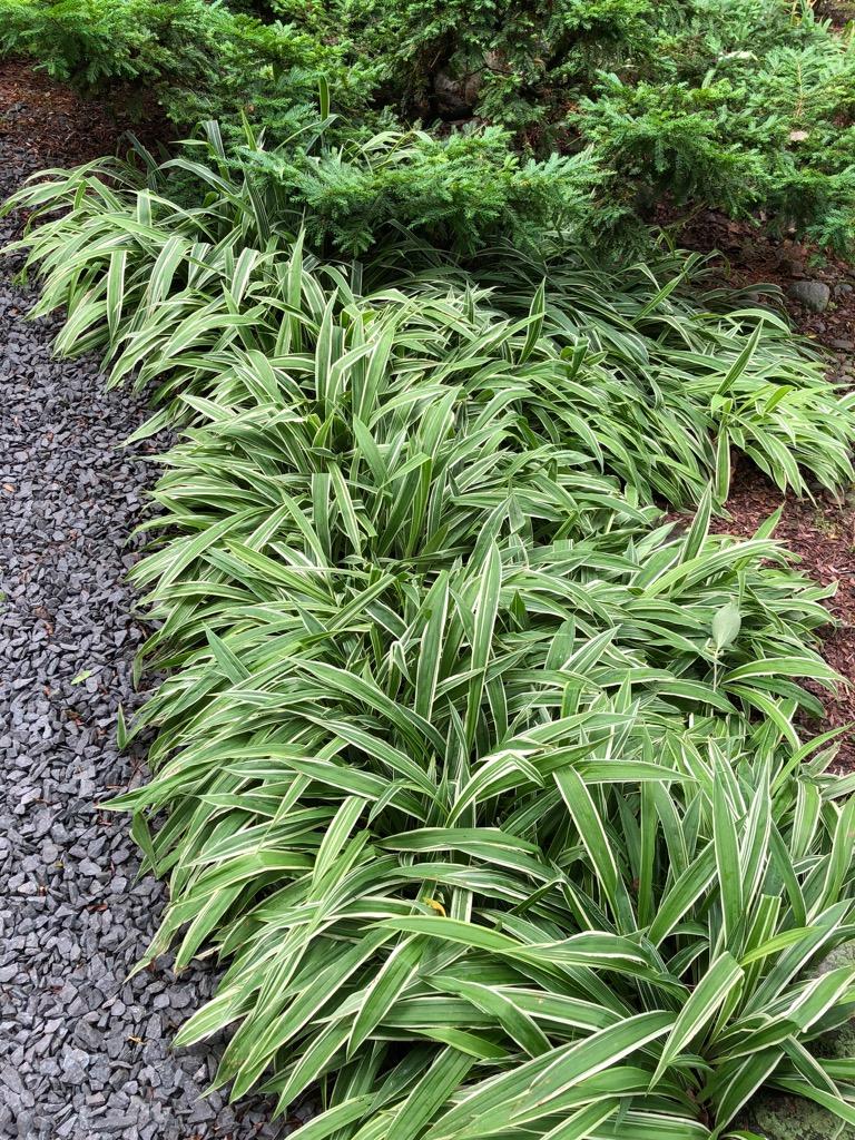C. siderosticha variegata